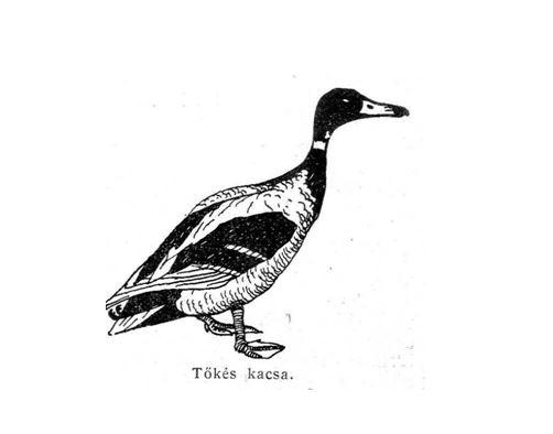 madár5
