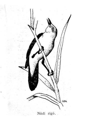 madár6
